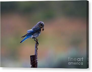 Bluebird Lunch Canvas Print by Mike  Dawson