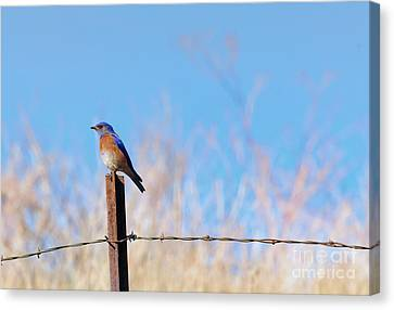 Bluebird On A Post Canvas Print by Mike  Dawson