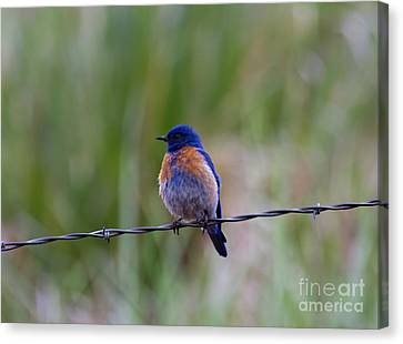 Bluebird On A Wire Canvas Print by Mike  Dawson
