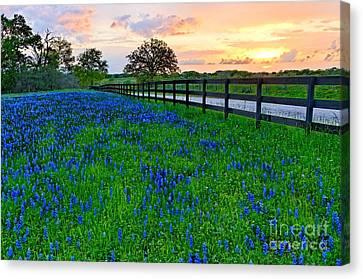 Bluebonnet Fields Forever Brenham Texas Canvas Print by Silvio Ligutti