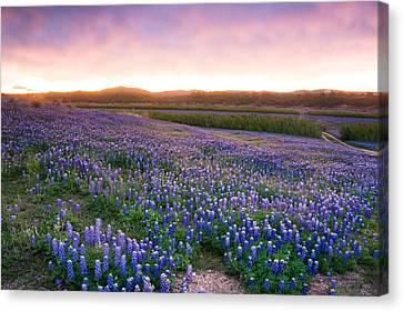 Bluebonnets After The Storm - Wildflower Field In Texas Canvas Print by Ellie Teramoto