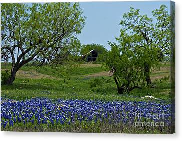 Bluebonnets And Old Barn Canvas Print by Lisa Holmgreen