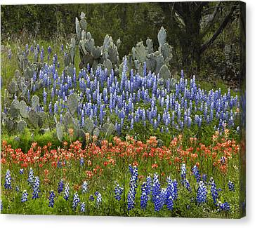 Bluebonnets Paintbrush And Prickly Pear Canvas Print by Tim Fitzharris