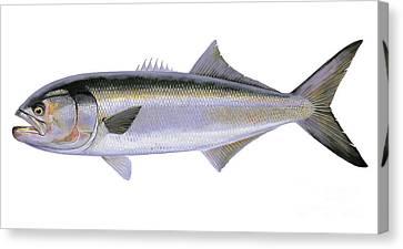 Bluefish Canvas Print by Carey Chen