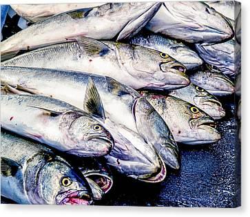 Bluefish Catch Canvas Print by Jim DeLillo