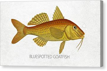 Bluespotted Goatfish Canvas Print by Aged Pixel