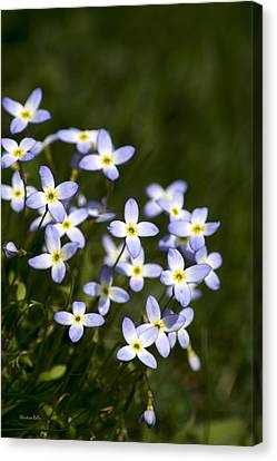 Bluet Flowers Canvas Print by Christina Rollo