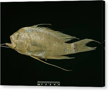 Blunt Headed Holy Fish Canvas Print by Natural History Museum, London