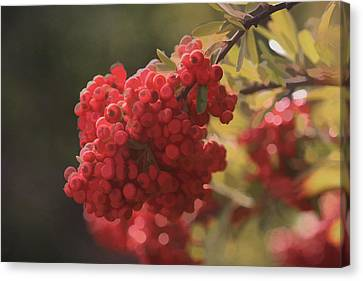 Blushing Berries Canvas Print by Kandy Hurley