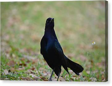 Boat-tailed Grackle Canvas Print by James Petersen