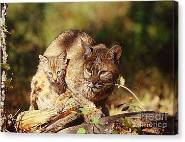 Bobcat And Young, Montana Canvas Print by Art Wolfe