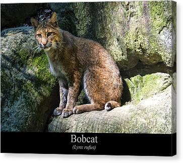 Bobcat Canvas Print by Chris Flees