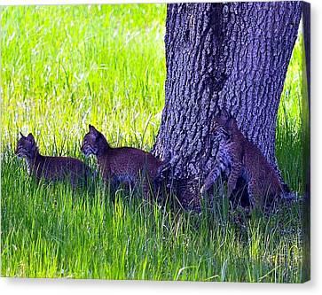Bobcat Cubs Canvas Print by Diana Berkofsky