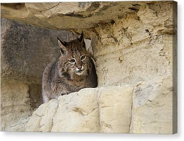 Bobcat Felis Rufus Canvas Print by Carol Gregory