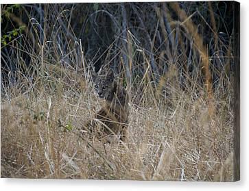 Bobcat Kitten In The Underbrush Canvas Print by Scott Lenhart