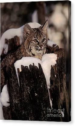 Bobcat Kitten Canvas Print by Ron Sanford