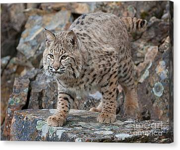 Bobcat On Rock Canvas Print by Jerry Fornarotto