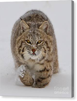 Bobcat Running Forward Canvas Print by Jerry Fornarotto