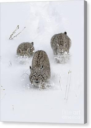 Bobcat Trio Canvas Print by Wildlife Fine Art