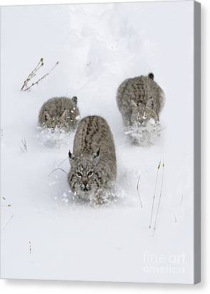 Bobcat Trio Canvas Print by Wildlife Fine Art