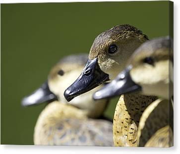 Bokehlicious Ducks Canvas Print by Mr Bennett Kent