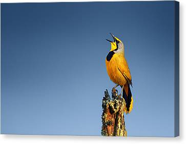Bokmakierie Bird Calling Canvas Print by Johan Swanepoel