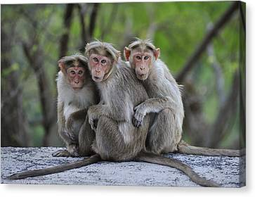 Bonnet Macaque Trio Huddling India Canvas Print by Thomas Marent
