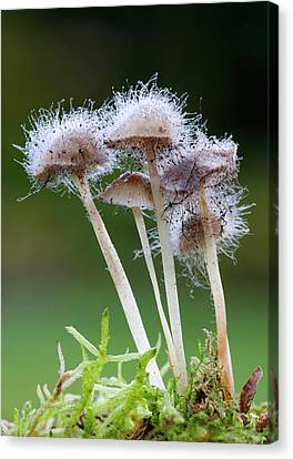 Bonnet Mould (spinellus Fusiger) Canvas Print by Nigel Downer