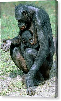 Bonobo Pan Paniscus Nursing Canvas Print by Millard H. Sharp