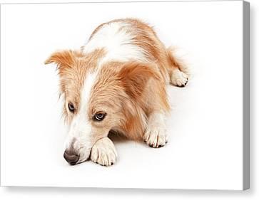 Border Collie Dog Laying Down  Canvas Print by Susan  Schmitz