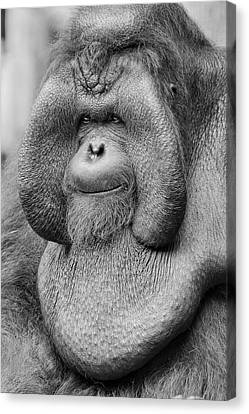 Bornean Orangutan IIi Canvas Print by Lourry Legarde