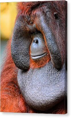 Bornean Orangutan Vi Canvas Print by Lourry Legarde