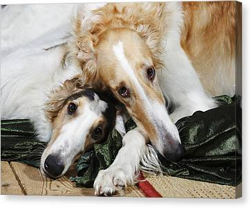 Borzoi Dogs In Love Canvas Print by Christian Lagereek