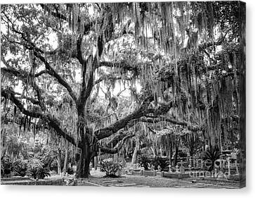 Bosque Bello Oak Canvas Print by Dawna  Moore Photography