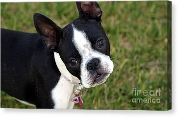 Boston Terrier Puppy Canvas Print by Marvin Blaine