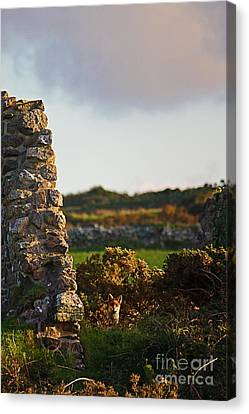 Botallack Fox At Sunset Canvas Print by Terri Waters