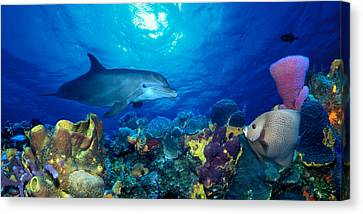 Bottle-nosed Dolphin Tursiops Truncatus Canvas Print by Panoramic Images