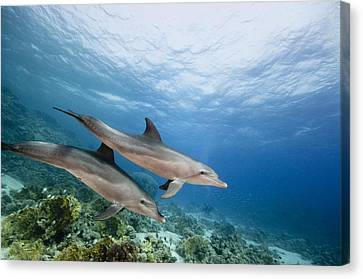 Bottlenose Dolphins Swimming Over Reef Canvas Print by Dray van Beeck