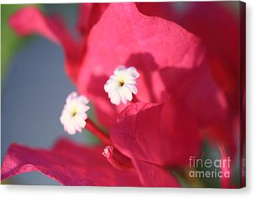 Bougainvillea 2 Canvas Print by Cheryl Young