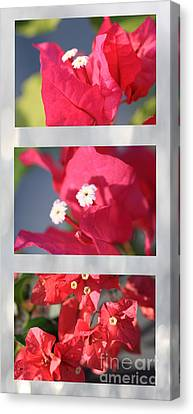 Bougainvillea Triptych Canvas Print by Cheryl Young