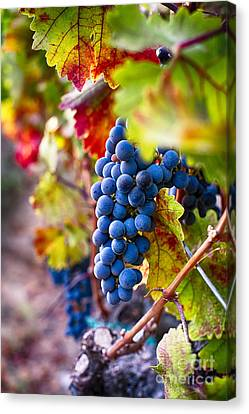 Bounty Of Napa Valley I Canvas Print by George Oze