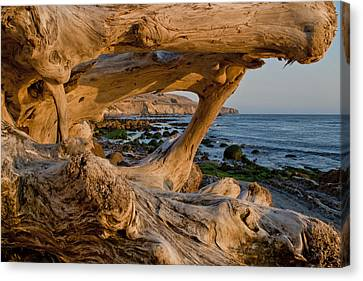 Bowling Ball Beach Framed In Driftwood Canvas Print by Patricia Sanders
