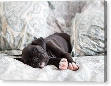 Boxer Puppy Sleeping Canvas Print by Stephanie McDowell