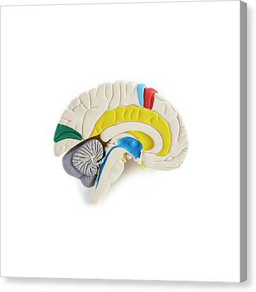Brain Anatomy Model Canvas Print by Science Photo Library