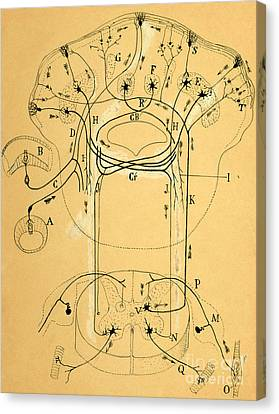 Brain Vestibular Sensor Connections By Cajal 1899 Canvas Print by Science Source