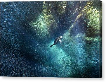 Brandt's Cormorant Fishing Canvas Print by Christopher Swann