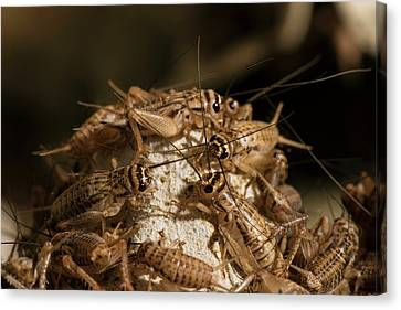 Breeding Insects For Human Consumption Canvas Print by Philippe Psaila