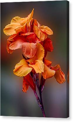 Bright Canna Lily Canvas Print by Linda Phelps