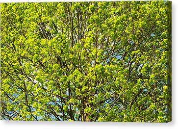 Bright Green Leaves Of A Tree In Early Spring Canvas Print by Matthias Hauser