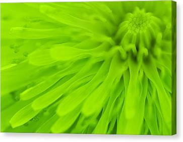 Bright Lime Green Dandelion Close Up Canvas Print by Natalie Kinnear